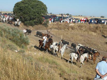FIESTAS DE ISCAR-encierros camperos