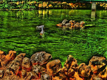 El estanque de los patos.